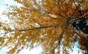 Картинка осень, листья, ветки, Дерево, береза