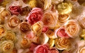 Обои Rose, розы, желтый
