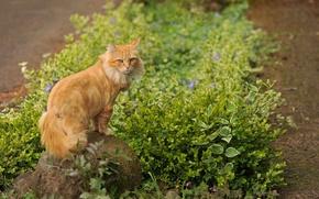 Картинка камень, трава, рыжий, цветы, кот