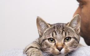 Картинка кот, взгляд, серый, мужчина, плечо