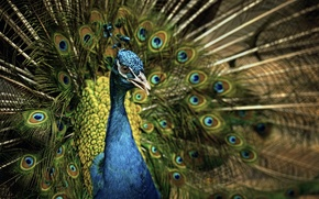 Картинка природа, птица, павлин