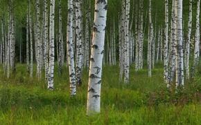 Картинка деревья, Швеция, берёзы, роща, Sweden, Dalarna