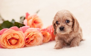 Картинка puppy, dog, flowers, baby, roses