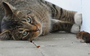 Обои кошка, макро, игра, мышка