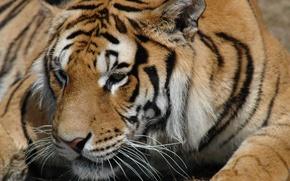 Обои животные, взгляд, тигр