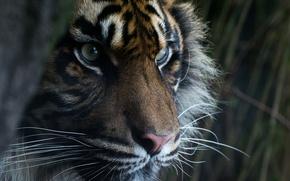 Обои взгляд, хищник, морда, глаза, суматранский тигр