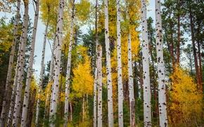 Картинка осень, лес, листья, деревья, Колорадо, США, осина, Аспен