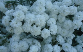 Картинка белый, цветы, природа, растение, Flowers