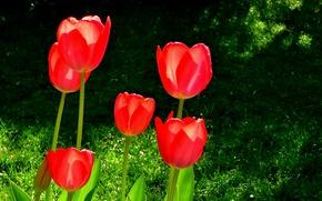 Картинка Spring, Весна, Red tulips, Красные тюльпаны