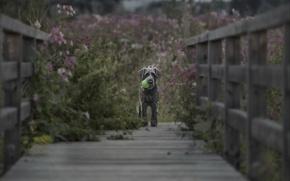 Картинка мост, фон, собака