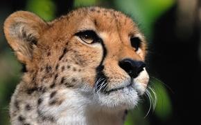Обои усы, гепард, хищник, морда, смотрит