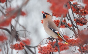 Картинка зима, дерево, Птица, рябина, свирестель