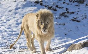 Картинка морда, хищник, грива, дикая кошка, зоопарк, белый лев