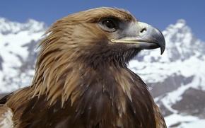 Обои горы, птица, орел