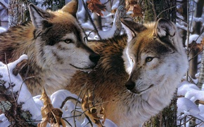 Картинка зима, животные, взгляд, снег, волки