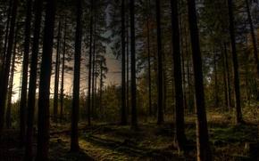 Картинка лес, деревья, вечер