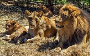 Картинка кошки, природа, дети, отдых, лев, семья, солома, дикие кошки, львята, львица, солнечно, лежат, родители, детеныши, …