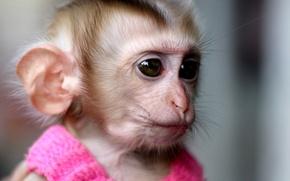 Обои платье, обезьяна, розовое, monkey