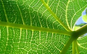 Обои лист, растение, прожилки