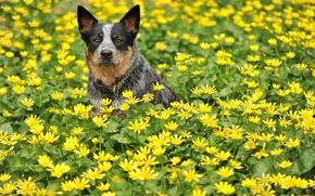 Картинка собака, взгляд, лето, цветы, друг