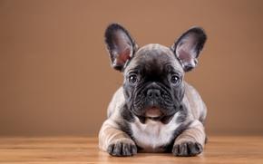 Обои щенок, бульдог, французский
