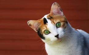 Картинка кошка, взгляд, фон, мордочка