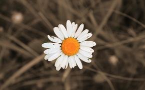 Картинка белый, лето, желтый, ромашка, июнь, 2016, мордовия
