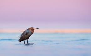Картинка twilight, sunset, lake, dusk, wildlife, egret