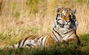 Обои тигр, трава, покой, отдых, морда