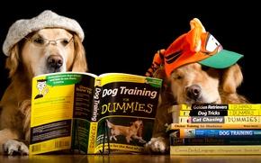 Картинка собаки, стол, шапка, две, книги, юмор, очки, кепка, черный фон, ретривер, чтение