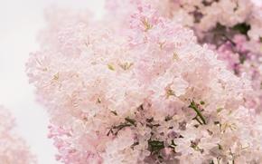 Обои нежность, макро, цветы, Сирень, весна, розовый