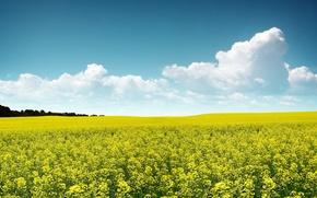 Обои цветы, небо, поле