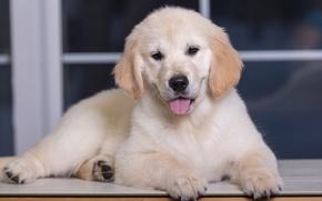 Картинка щенок, ретривер, голден