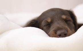 Обои щенок, спит, на мягком