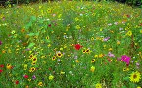 Картинка зелень, поле, лето, подсолнухи, цветы, красный, жёлтый, мак, луг, разнотравье, космея