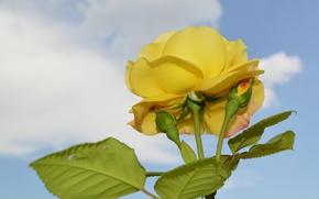 Картинка небо, листья, макро, роза, лепестки, бутон