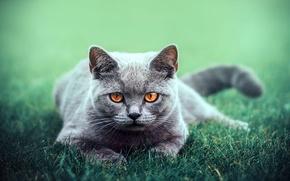 Картинка зелень, кошка, трава, глаза, кот, взгляд, животное, отдых, лапы, прогулка, cat, порода, британская короткошерстная