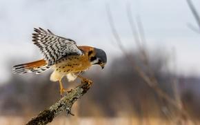 Картинка глаза, крылья, клюв, охота, боке, пустельга, филиал