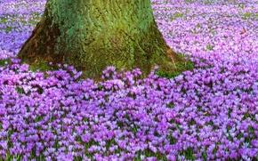 Обои цветы, первоцвет, природа, пурпурный, поляна, дерево, ствол, Крокусы, весна
