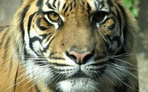 Картинка морда, тигр, Кошачьи