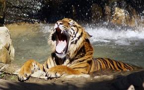 Обои рычит, река, Тигр