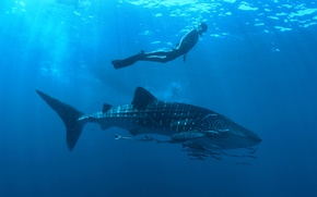 Обои professional diver, Whale shark, ocean, Rhincodon typus