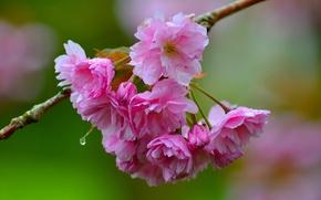 Картинка макро, вишня, ветка, сакура, цветение, цветки, боке