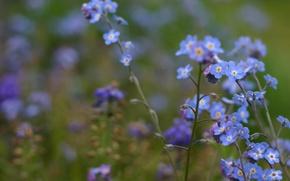 Обои макро, цветы, размытость, полевые, незабудки