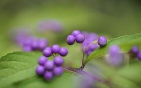 Картинка зелень, листья, ягоды, фокус, фиолетовые, кустарник, Калликарпа, Callicarpa