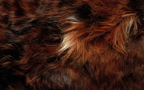 Обои hair, fur, animal