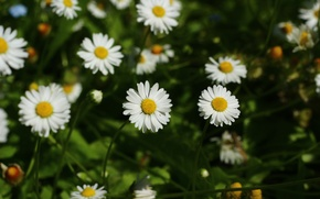 Картинка цветы, ромашки, красиво