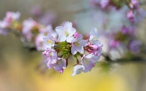 Картинка цветы, вишня, ветка, весна