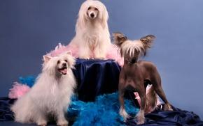 Картинка собаки, фон, китайская хохлатая собака