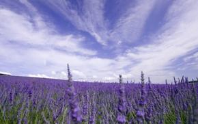 Обои поле, небо, облака, цветы, природа, лаванда